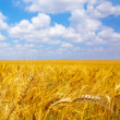 Ripening ears of wheat field in the style of bokeh — Stock Photo #28377789