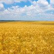 Cultivation of different varieties of wheat, wheat field — Stock Photo #28377817