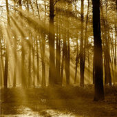 The sun's rays breaking through the trees in the pine forest in — Photo