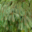 Brightly green prickly branches of a Christmas tree — Stok Fotoğraf #32749749