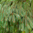 Brightly green prickly branches of a Christmas tree — Stockfoto