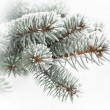 Evergreen branch covered with snow, against a background of snow — Stock Photo