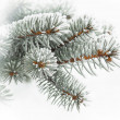 Stock Photo: Evergreen branch covered with snow, against background of snow