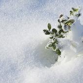 Hojas verdes de las plantas bajo la nieve. — Foto de Stock