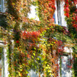 Bright autumn leaves curl on the facade of urban buildings. — Stock Photo