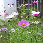 Colourful flowers growing near a wooden fence — Stock Photo