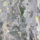Background of bark of sycamore — Foto Stock