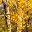 Bright autumn foliage of a birch tree — Stock Photo