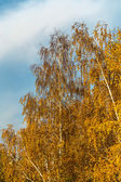 The bright leaves of birch trees on the background of the cloudy — Stock Photo