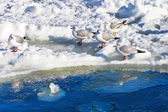 Gulls on ice — Stock Photo