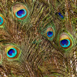 Stock Photo: Background with colorful peacock feathers