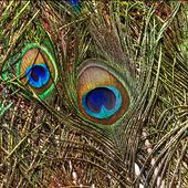 Background with colorful peacock feathers — Stock Photo