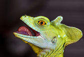 Head chameleon selective focus on eye — Stock Photo