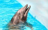 高兴只美丽的微笑蓝色泳池水中的海豚 — 图库照片