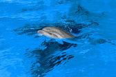 Mãe de golfinho com seu pequeno golfinho nada na piscina. criança — Foto Stock