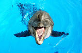 Glad beautiful dolphin smiling in a blue swimming pool water on  — Stock Photo