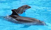 Dolphin mother with her little dolphin swims in the pool. Child — Stock Photo