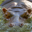 Hippo completely bathed in the river at water level on a hot sun — Stock Photo #46763645