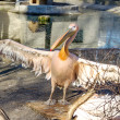 Portrait of a European white pelican , Pelecanus onocrotalus. Ex — Stock Photo #46763971