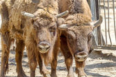 Wild America Bison - a huge pair of mature bulls in the summer d — Stock Photo