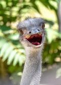 Ostrich head close up. Ostrich Ostrich or type is one or two spe — Stock Photo