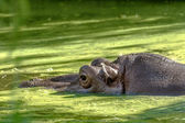 Hippo completely bathed in the river at water level on a hot sun — Stock Photo