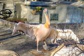 Portrait of a European white pelican , Pelecanus onocrotalus. Ex — Stock Photo
