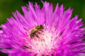 Bee on a beautiful flower blossoming lilac in the spring garden — Stock Photo