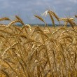 Yellow ripe wheat ready for harvest growing in a farm field on a — Stock Photo #47641577