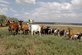 Herd of goats grazing farm animal farm on the steppe meadow in s — Stock Photo