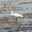 Stock Photo: Little egret wading in shallow water