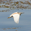 Squacco heron flying over shallow water — Stockfoto