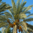 Top of a date palm tree — Foto Stock