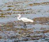 Little egret wading in shallow water — Stock Photo