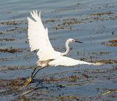 Little egret flying over reeds — Stock Photo