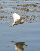 Squacco heron flying over shallow water — Stock Photo