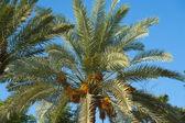 верхней части финиковой пальмы — Стоковое фото