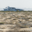 Large hunting osprey bird in flight — ストック写真