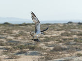 Large hunting osprey bird in flight — Stok fotoğraf