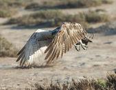Large osprey bird in flight — Stock Photo