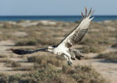 Large osprey bird in flight — Stock Photo