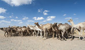 Dromedary camels at an African market — Stock Photo