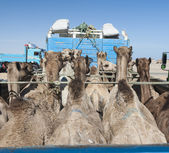 Dromedary camels loaded on a truck — Stock Photo