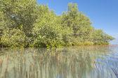 White mangrove trees in a tropical lagoon — Stock Photo