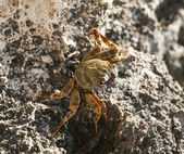 Red Sea swimming crab on rocks — Stock Photo