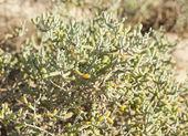 Desert plant in sand dunes — Stock Photo