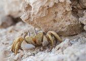 Granchio fantasma di mar rosso sotto una roccia — Foto Stock