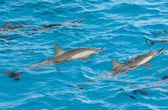 Spinner dolphins surfacing in a lagoon — 图库照片
