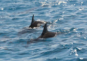 Spinner dolphins surfacing in a lagoon — Stock Photo