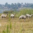 Dromedary camels in a meadow on riverbank — Stockfoto